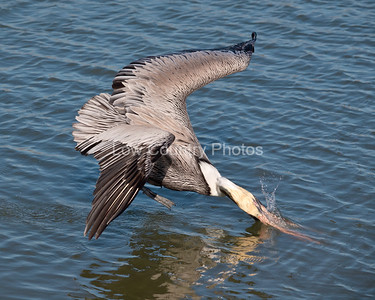 Pelican diving for fish at Huntington Beach State Park, SC