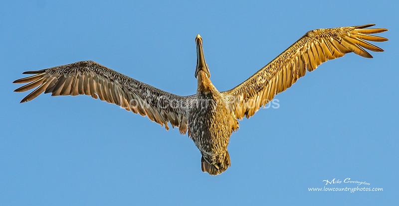 Overhead Pelican