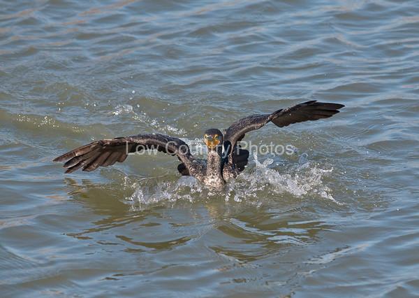 Pelican underwater