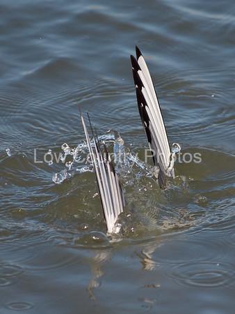 Bird diving in water
