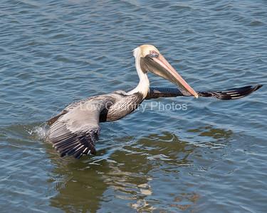 Pelican landing at Huntington Beach State Park, SC