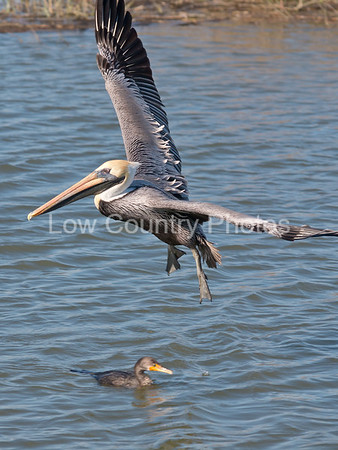 Pelican soars by