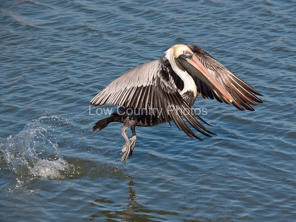 Pelican launching at Huntington Beach State Park, SC