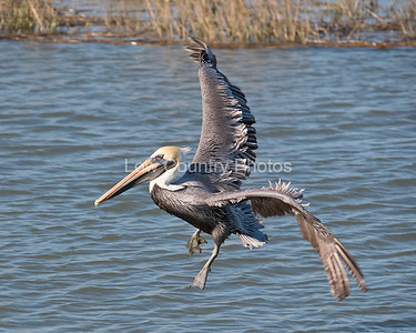 Pelican flying at Huntington Beach State Park, SC