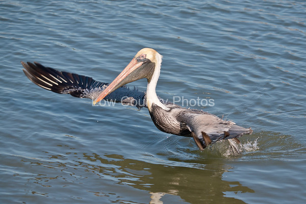 Pelican Taking Off at Huntington Beach State Park, SC