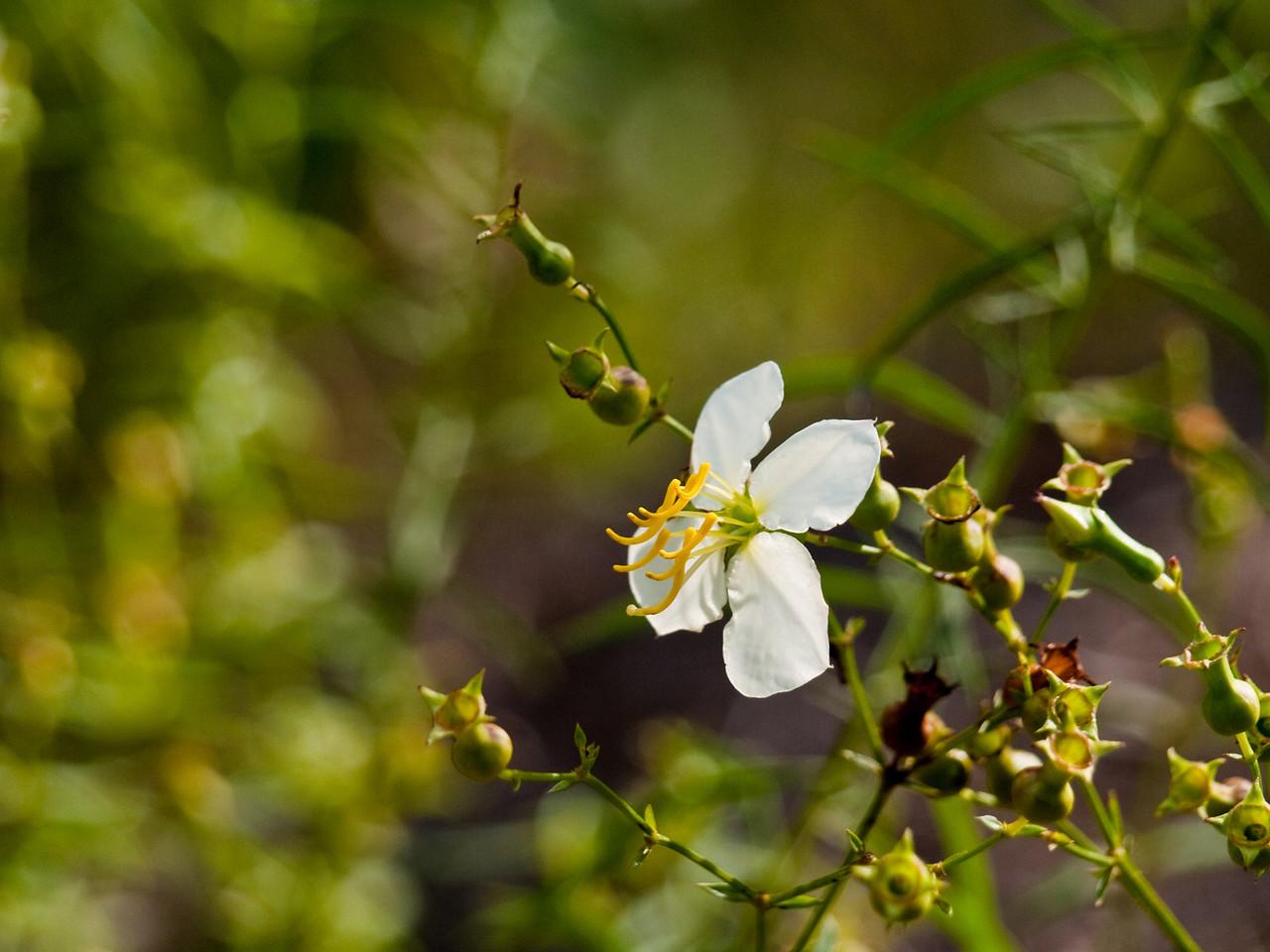 Meadow Beauty