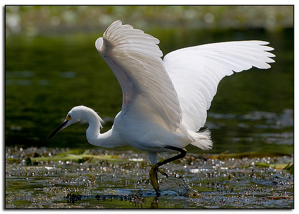 Snowy egret fishes