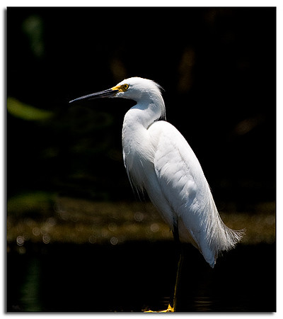 Snowy egret in the sun