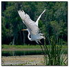 Great egret takes off