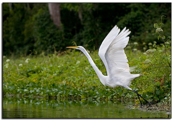 Great egret on lift-off