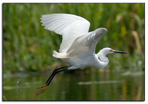 Snowy egret flies