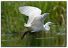 Snowy egret flies