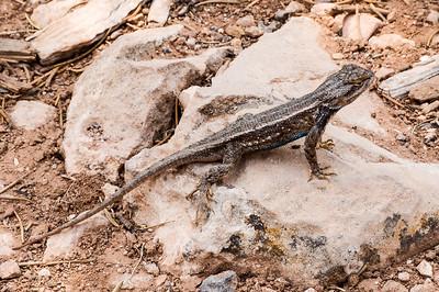 Common Sagebrush Lizard