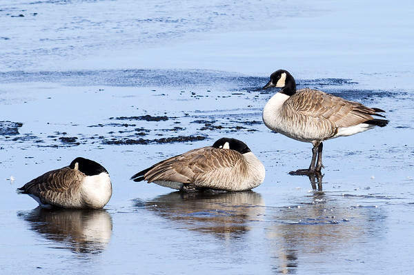 Canada Geese on Ice