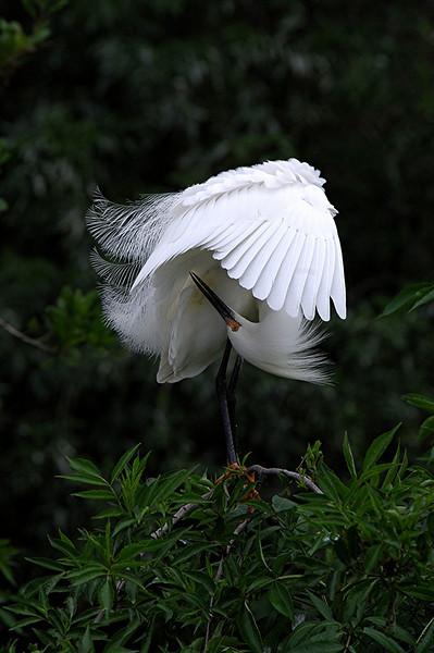 Snowy Egret Preening
