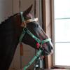 Akelle Teke Stallion