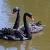 Australian Swan Pair
