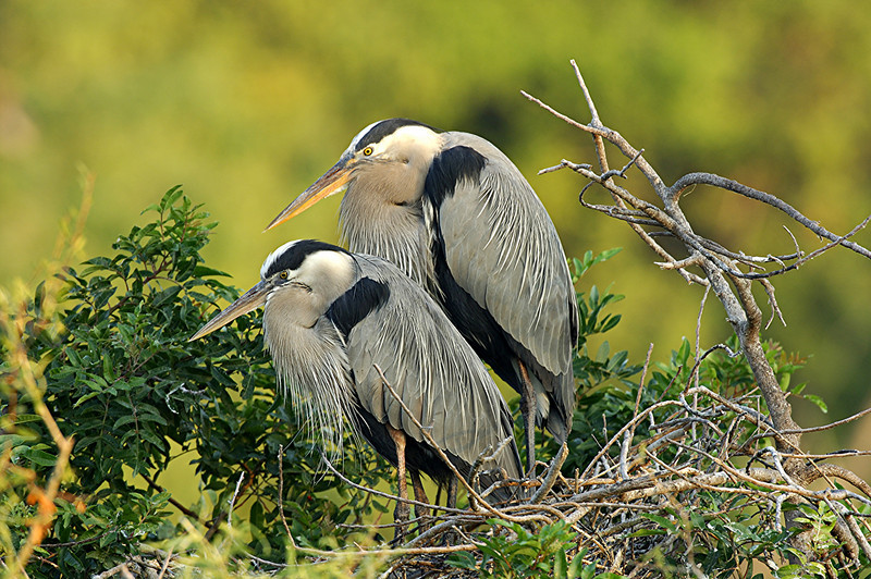 Great Blue Heron Nesting Pair