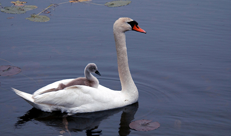Swan and Signet