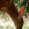 Fawn in Olympic National Park