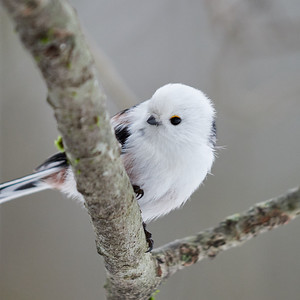 Just a bit of yellow eyeliner. Long-tailed tit