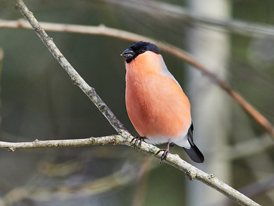 The spring is closer. Bullfinch