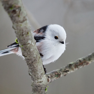 Pure beauty. Long-tailed tit