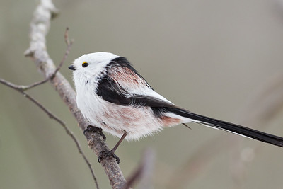 Too long tail. Long-tailed tit