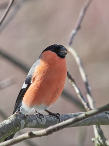 It is hard to talk when the mouth is full. Bullfinch