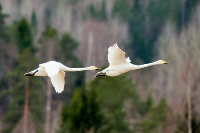 The couple and the future. Whooper swan