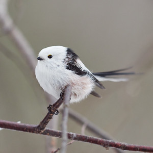 Twist the tail. Long-tailed tit
