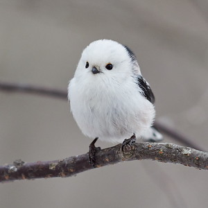 So white so beautiful. Long-tailed tit