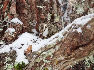 Camouflage of the  Eurasian Treecreeper