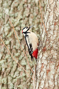 Great spotted woodpecker climbing