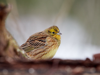 Taking the low point of view. Yellowhammer