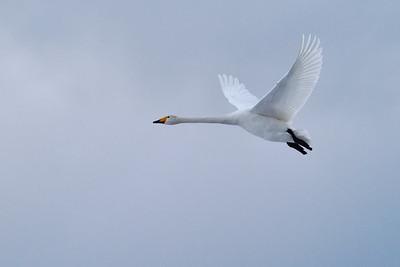 Flyby 3 Whooper Swan