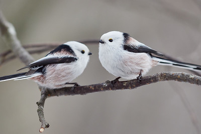 Friends forever. Long-tailed tit
