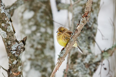 Waiting for the spring. Yellowhammer