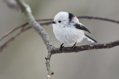 A classic pose. Long-tailed tit