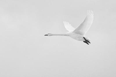 Flyby 4 Whooper Swan bw