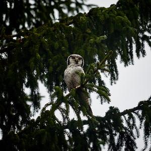 Northern hawk-owl 36
