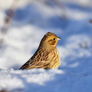 With the with and blue snow. Yellowhammer