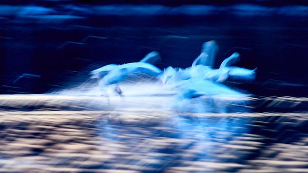 Spring Wheelings. Whooper Swan