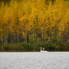 Whooper swan with the fall colors