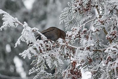 Taste of snow. Eurasian blackbird