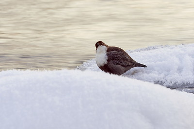Was there something up there. White-throated dipper