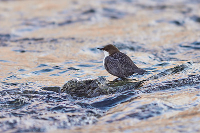 Blue gold and cold. White-throated dipper