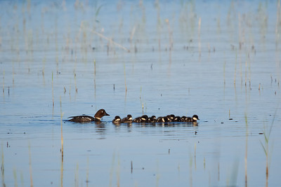 Common goldeneye family