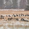 Variksia (Corvus corone cornix) ja naakkoja (Corvus monedula) lumisateessa- Hooded Crows and Jackdaws in snow