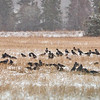 Variksia (Corvus corone cornix) ja naakkoja (Corvus monedula) lumisateessa- Hooded Crows and Jackdaws in snow